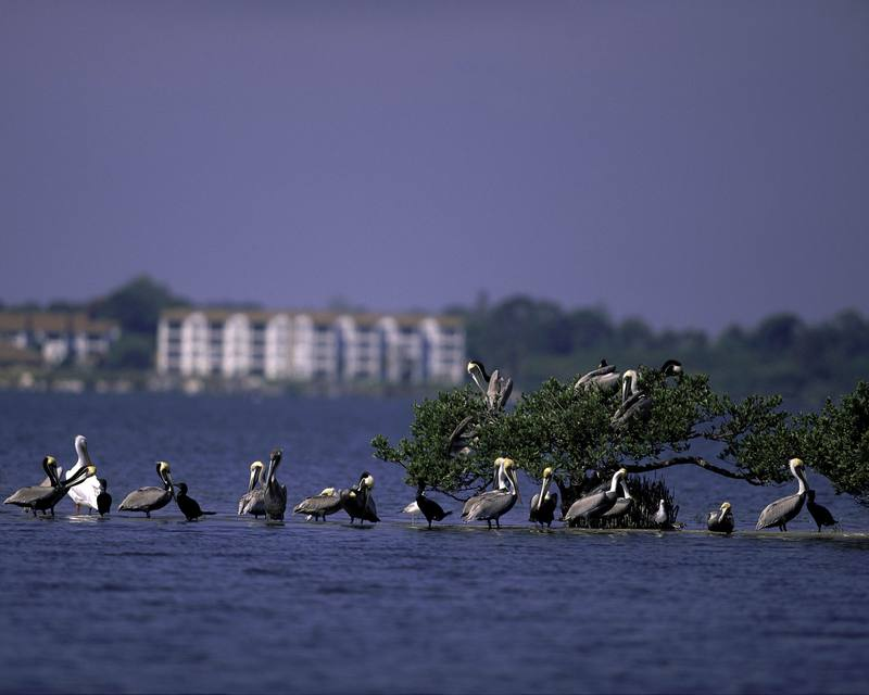 Pelican & Cormorant mixed flock - Pelican Island National Wildlife Refuge, Florida; DISPLAY FULL IMAGE.