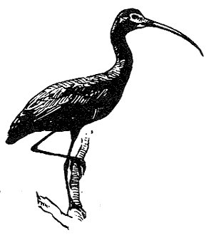 [Drawing] Glossy Ibis (Plegadis falcinellus) <!--보라따오기(낫부리따오기)-->; Image ONLY