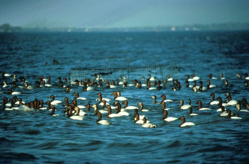 Canvasback flock (Aythya valisineria) <!--큰흰죽지-->; DISPLAY FULL IMAGE.