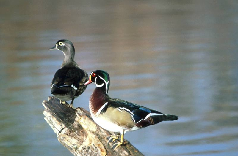 Wood Ducks (Aix sponsa) <!--아메리카원앙-->; DISPLAY FULL IMAGE.