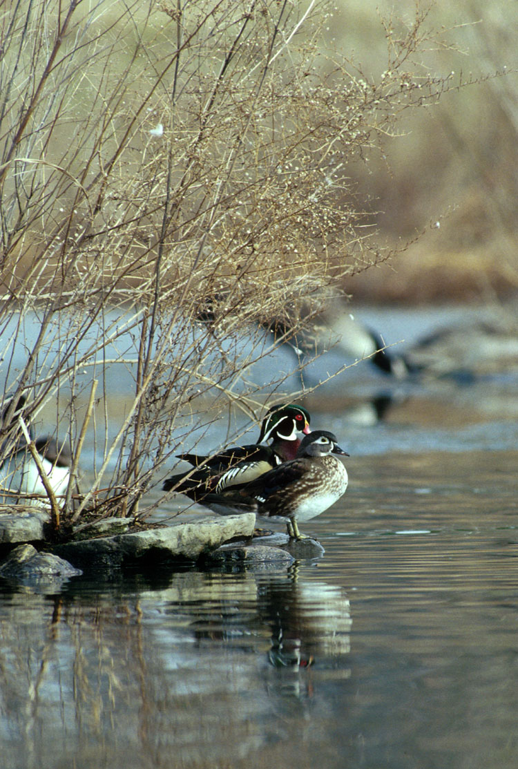 Wood Ducks (Aix sponsa) <!--아메리카원앙-->; Image ONLY