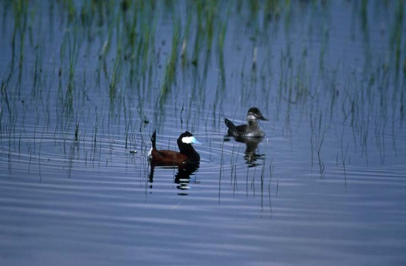 Ruddy duck pair.jpg