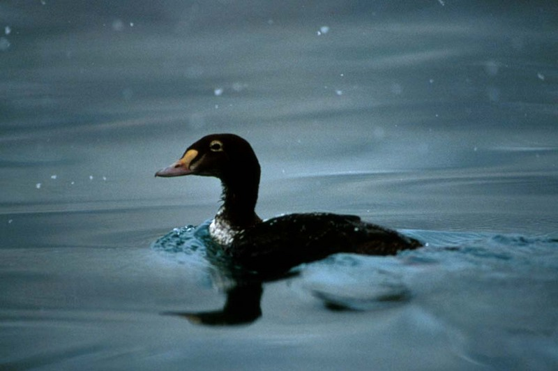 King Eider (Somateria spectabilis) <!--오색솜털오리-->; DISPLAY FULL IMAGE.