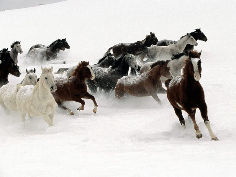[Daily Photos CD03] Snow Horses; DISPLAY FULL IMAGE.