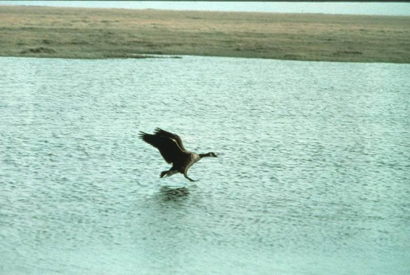 Canada Goose takes off (Branta canadensis) <!--캐나다기러기-->; DISPLAY FULL IMAGE.