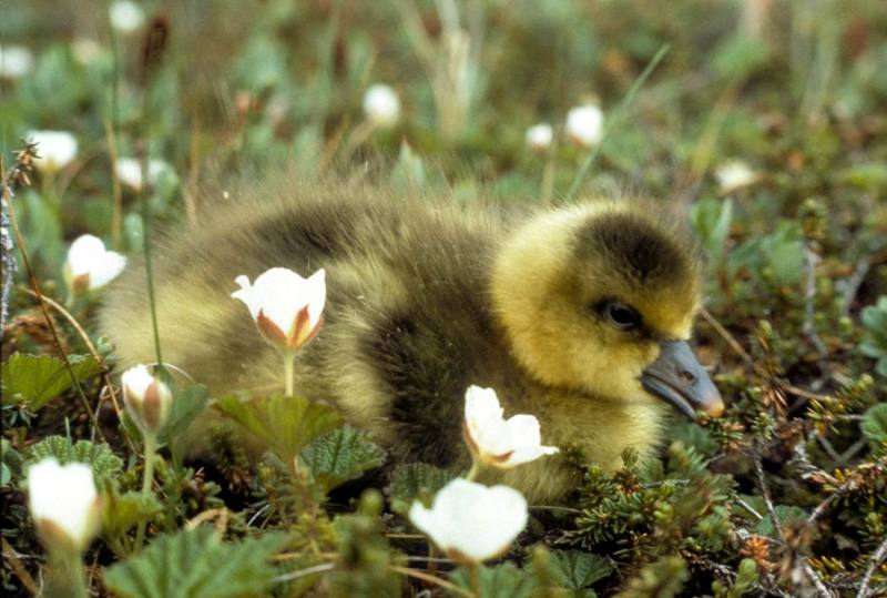 Greater White-fronted Goose baby (Anser albifrons) <!--쇠기러기-->; DISPLAY FULL IMAGE.