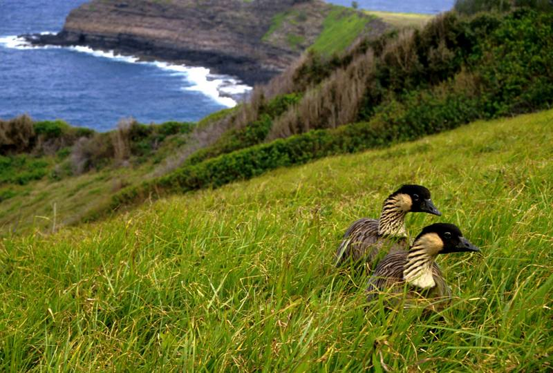 Nene, Hawaiian Goose pair (Branta sandvicensis) <!--하와이기러기-->; DISPLAY FULL IMAGE.