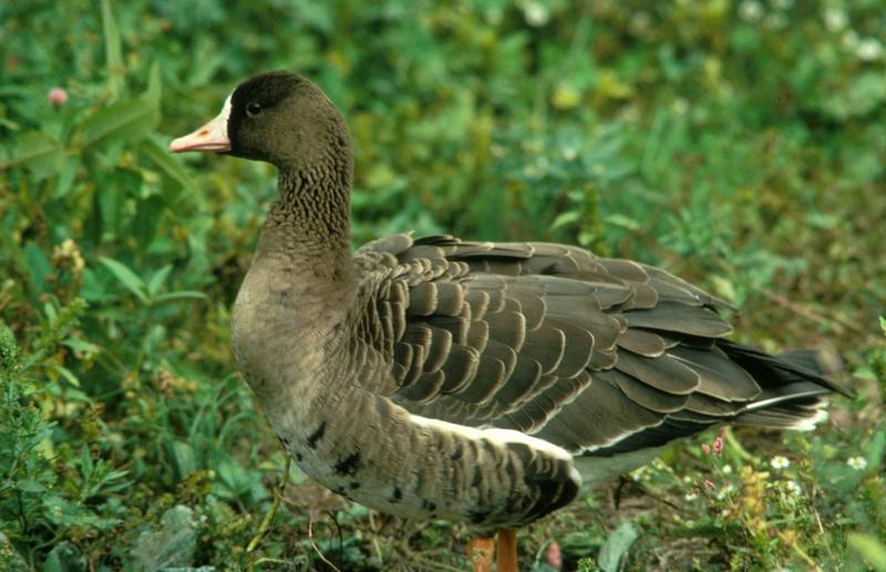 Greater White-fronted Goose (Anser albifrons) <!--쇠기러기-->; DISPLAY FULL IMAGE.