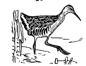 [Drawing] King Rail (Rallus elegans) <!--왕뜸부기-->; Image ONLY