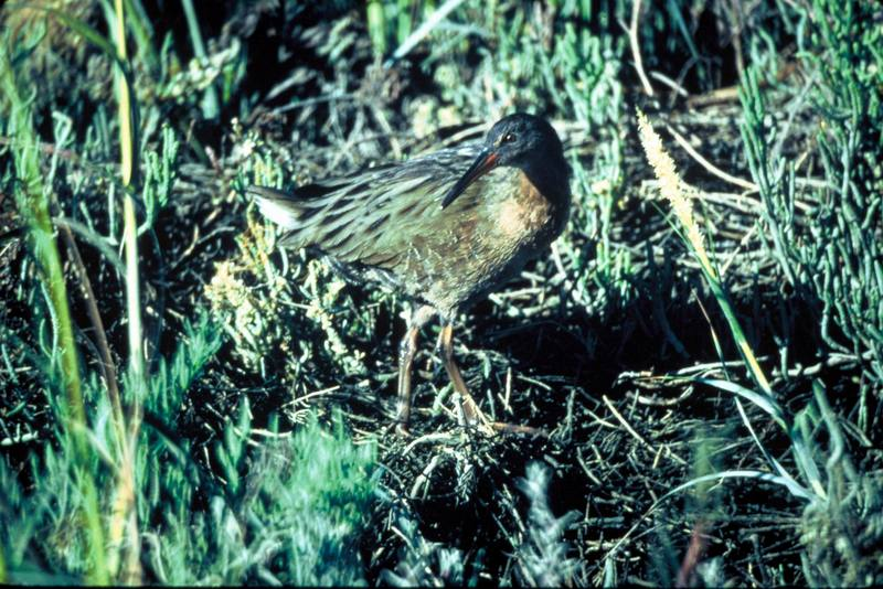 California Clapper Rail (Rallus longirostris obsoletus) <!--긴부리뜸부기-->; DISPLAY FULL IMAGE.