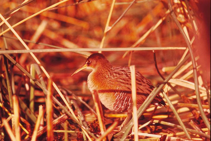Yuma Clapper Rail (Rallus longirostris yumanensis) <!--긴부리뜸부기-->; DISPLAY FULL IMAGE.