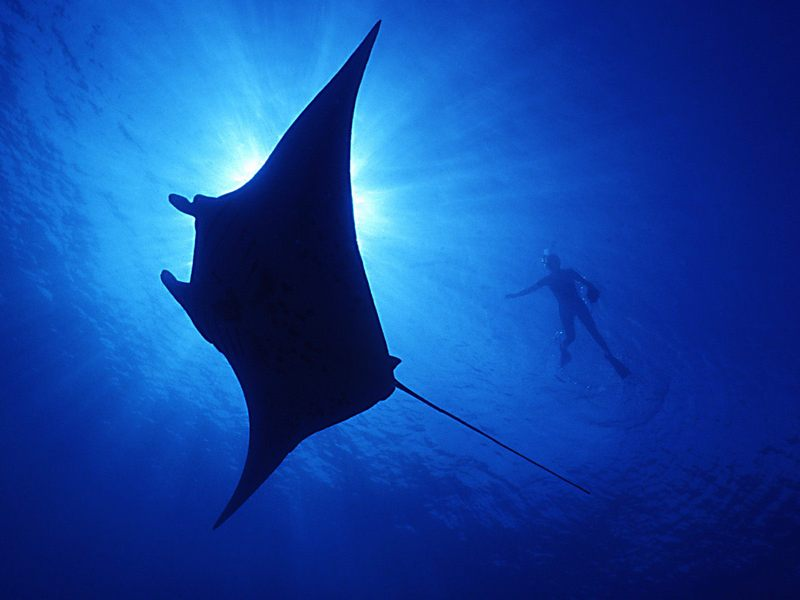 [Gallery CD01] Soaring Shadows of Manta Ray, Hawaii; DISPLAY FULL IMAGE.