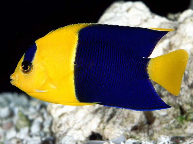 [Gallery CD01] Bicolor Angelfish; DISPLAY FULL IMAGE.