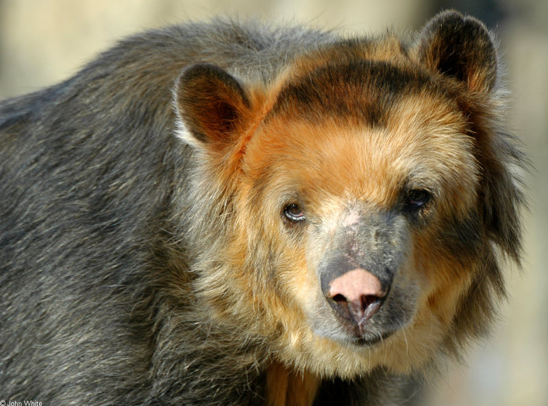 Misc Critters - Spectacled Bear (Tremarctos ornatus).jpg; DISPLAY FULL IMAGE.