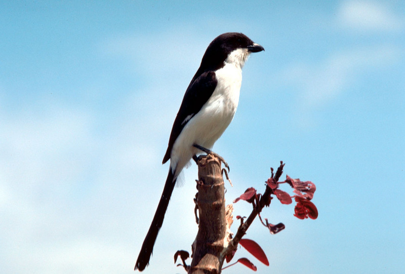 Long-tailed Fiscal Shrike (Lanius cabanisi) <!--검은등때까치-->; DISPLAY FULL IMAGE.