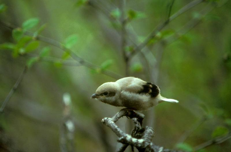 Great Grey Shrike (Lanius excubitor) <!--큰재개구마리-->; DISPLAY FULL IMAGE.