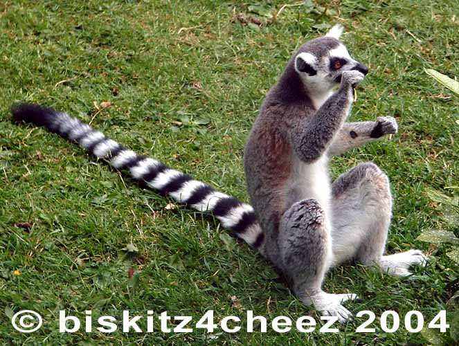 Ringtail Lemur; Image ONLY