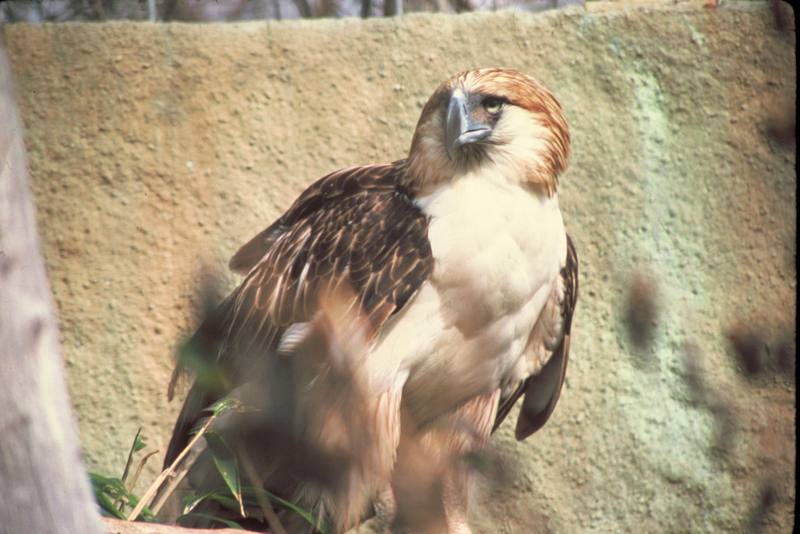 Philippine Monkey-eating Eagle (Pithecophaga jefferyi) <!--원숭이잡이수리(필리핀수리)-->; DISPLAY FULL IMAGE.