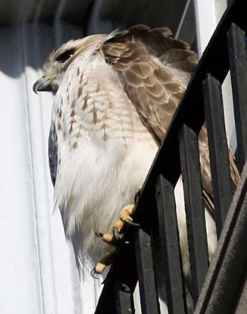 New York, Red-tailed Hawk [REUTERS]; Image ONLY