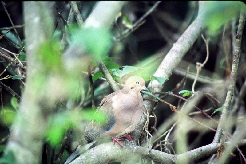Mourning Dove (Zenaida macroura) <!--긴꼬리비둘기-->; DISPLAY FULL IMAGE.