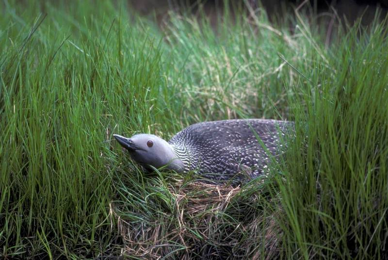 Red-throated Loon (Gavia stellata) <!--아비-->; DISPLAY FULL IMAGE.