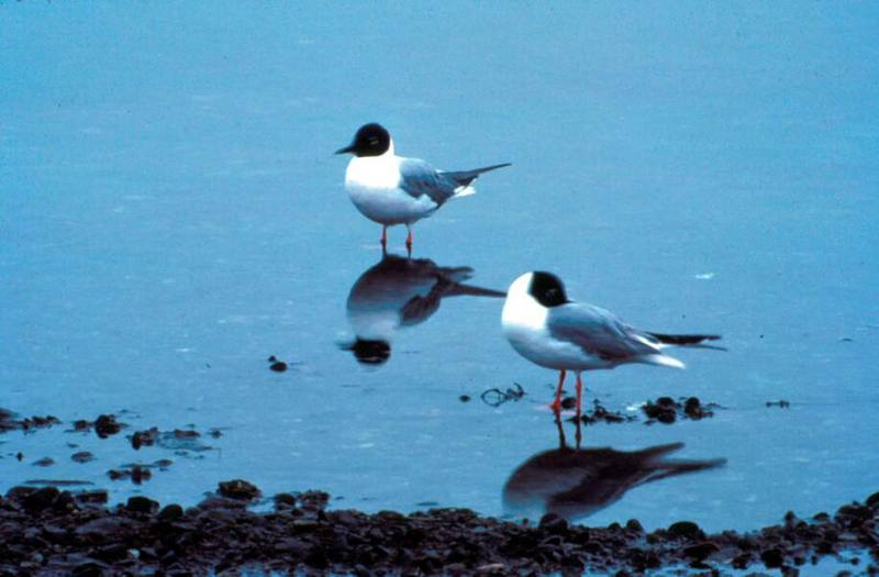 Bonaparte's Gulls (Larus philadelphia) <!--나폴레옹갈매기-->; DISPLAY FULL IMAGE.