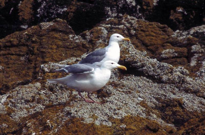 Glaucous-winged Gull pair (Larus glaucescens) {!--수리갈매기-->; DISPLAY FULL IMAGE.