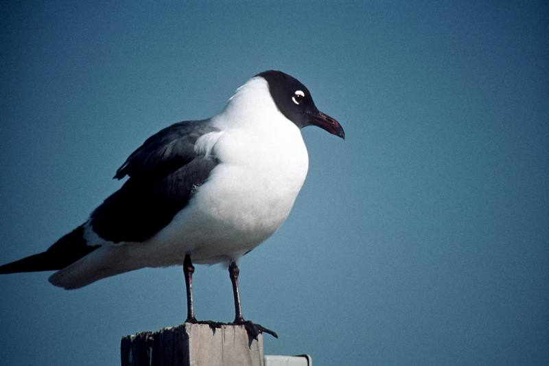 Laughing Gull (Larus atricilla) <!--웃음갈매기-->; DISPLAY FULL IMAGE.