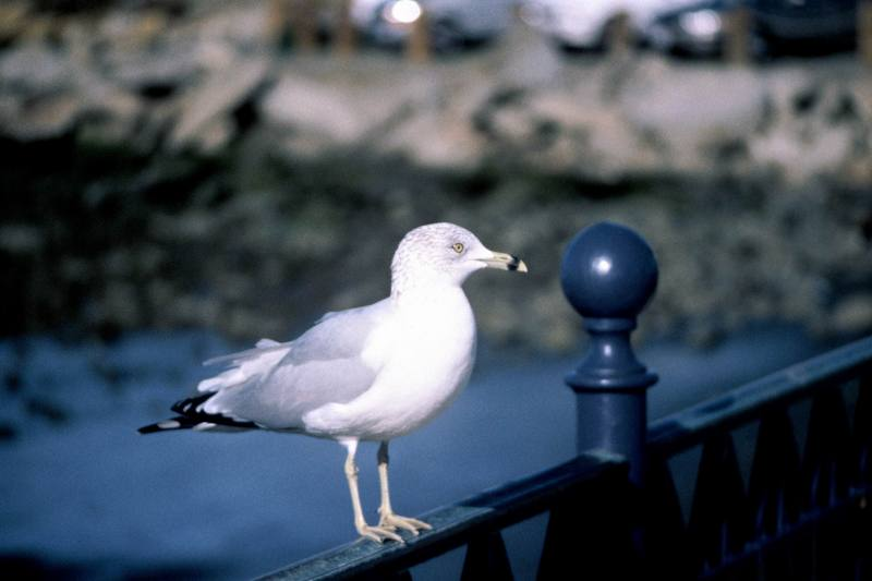 Ring-billed Gull (Larus delawarensis) <!--고리부리갈매기(북미)-->; DISPLAY FULL IMAGE.