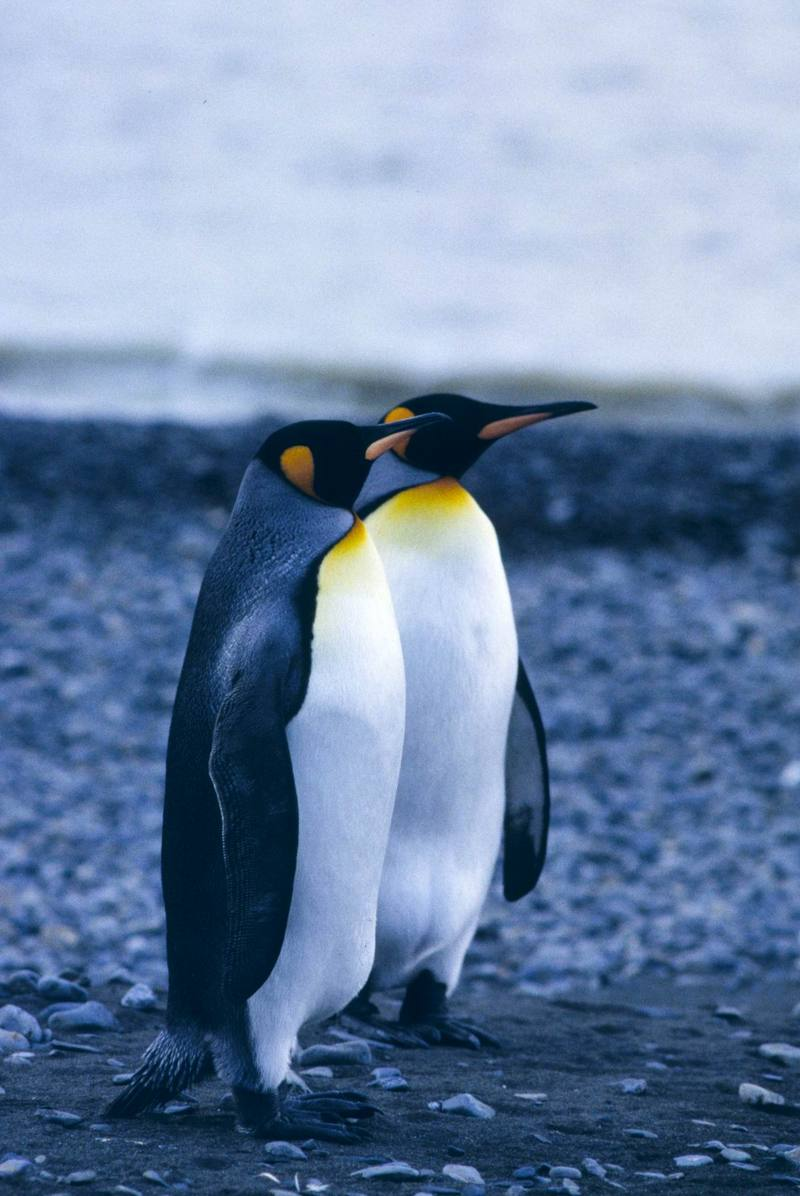 King Penguin pair (Aptenodytes patagonicus) <!--임금펭귄-->; DISPLAY FULL IMAGE.