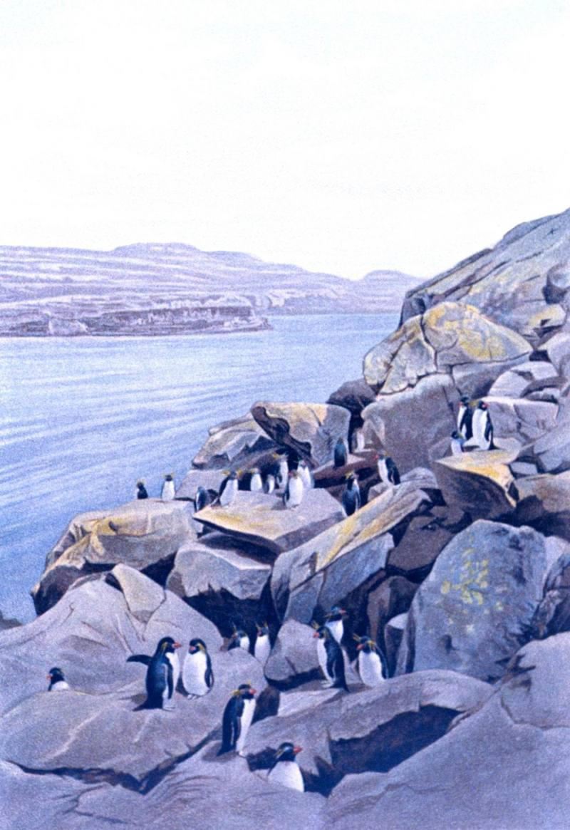 Rockhopper Penguins (Eudyptes chrysocome) <!--노란눈썹펭귄-->; DISPLAY FULL IMAGE.