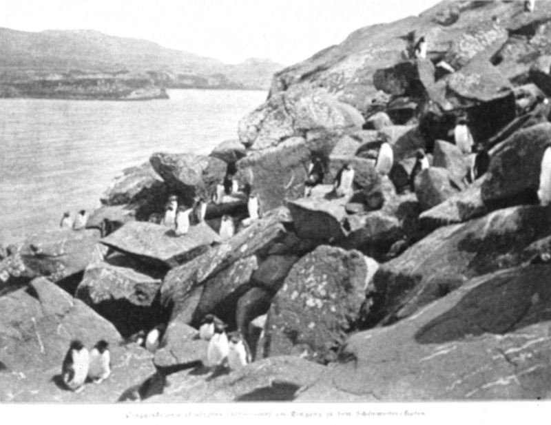 Rockhopper Penguin colony (Eudyptes chrysocome) <!--노란눈썹펭귄-->; DISPLAY FULL IMAGE.