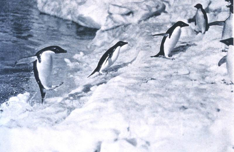 Adelie Penguins (Pygoscelis adeliae) <!--아델리펭귄-->; DISPLAY FULL IMAGE.