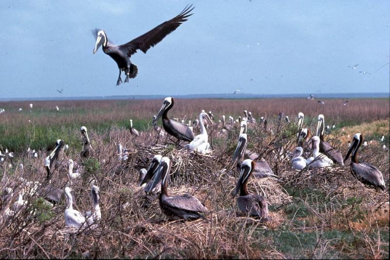Brown Pelican flock (Pelecanus occidentalis) <!--갈색사다새-->; DISPLAY FULL IMAGE.