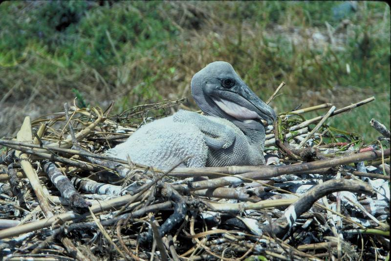 Brown Pelican chick in nest (Pelecanus occidentalis) <!--갈색사다새-->; DISPLAY FULL IMAGE.