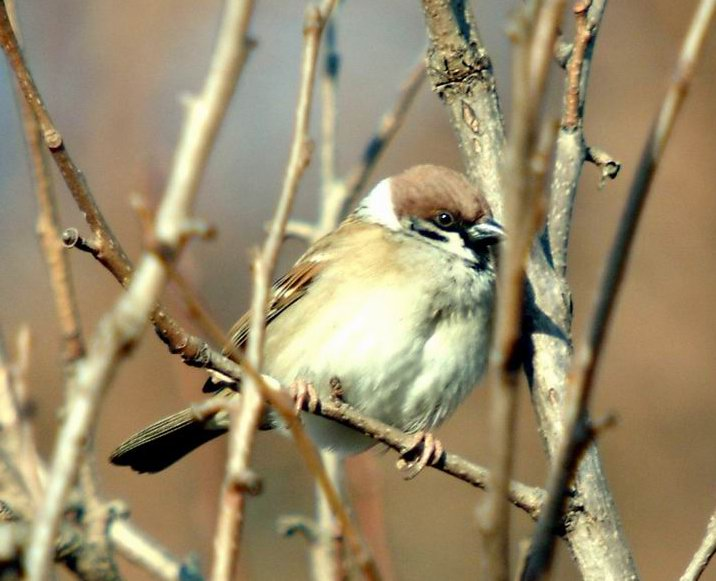 Passer montanus (Tree Sparrow) <!--참새-->; Image ONLY