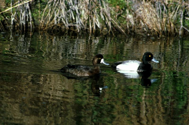Lesser Scaup pair (Aythya affinis) <!--북아메리카검은머리흰죽지-->; DISPLAY FULL IMAGE.
