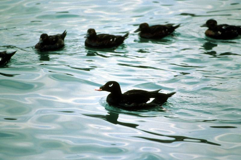 White-winged Scoter (Melanitta fusca) <!--검둥오리사촌-->; DISPLAY FULL IMAGE.