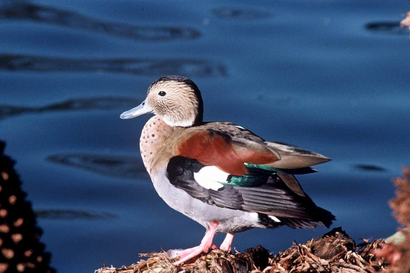 Ringed Teal (Callonetta leucophrys) <!--남아메리카쇠오리-->; DISPLAY FULL IMAGE.