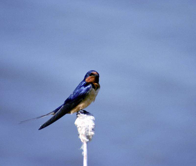Barn Swallow (Hirundo rustica) <!--제비-->; DISPLAY FULL IMAGE.