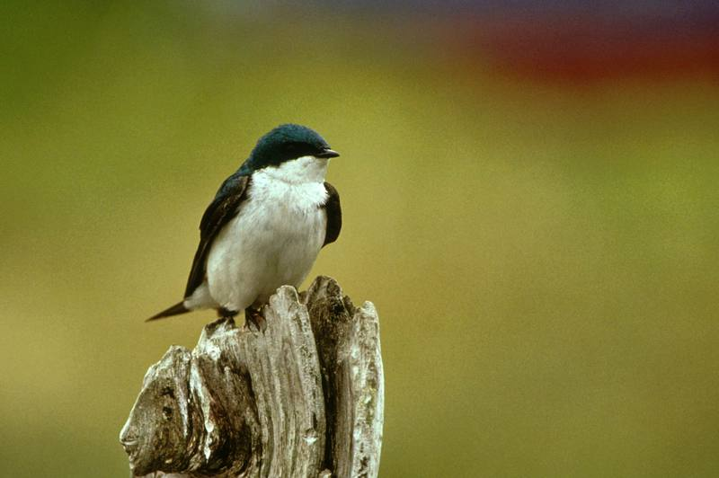 Tree Swallow (Tachycineta bicolor) <!--청둥제비-->; DISPLAY FULL IMAGE.