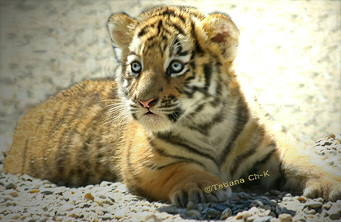 Siberian-Tiger (baby female); Image ONLY