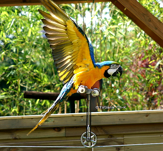 Parrot (Ara male) - blue-and-gold macaw (Ara ararauna); Image ONLY