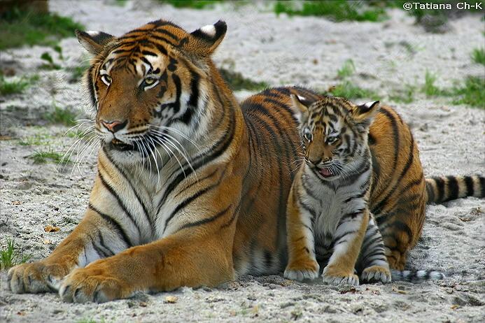 Baby siberian tiger wallpaper - photo#15