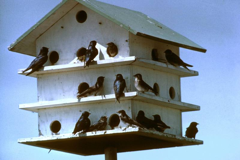 Purple Martin bird house (Progne subis) <!--보라큰털발제비(자주색제비)-->; DISPLAY FULL IMAGE.