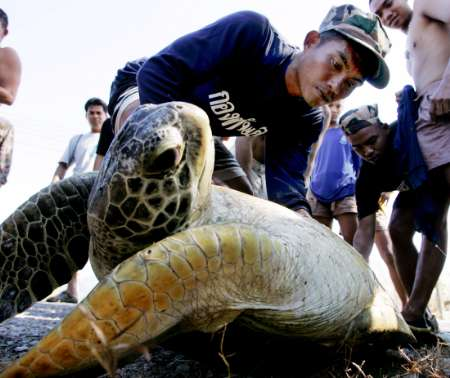 Thailand, Sea Turtle in Rescue [REUTERS]; Image ONLY