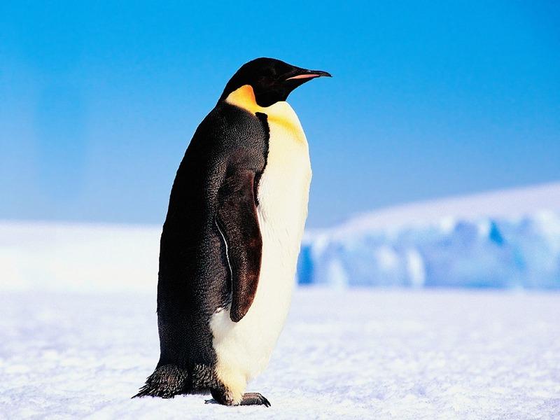 screen themes arctic adventures emperor penguin. Black Bedroom Furniture Sets. Home Design Ideas