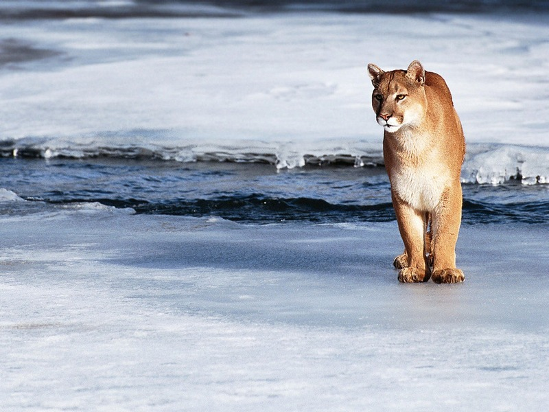 Screen Themes - Big Cats - Cougar by Icy Stream; DISPLAY FULL IMAGE.