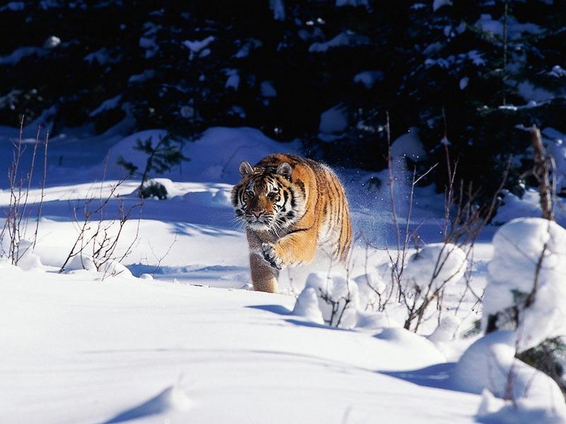 ST-CATS001@Siberian Tiger.jpg