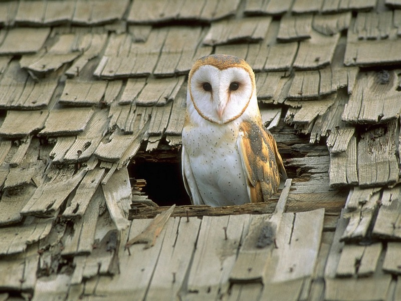 Screen Themes - Birds of Prey - Barn Owl in Roof Hole; DISPLAY FULL IMAGE.